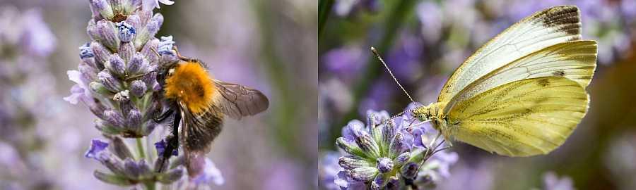 bij vlinder